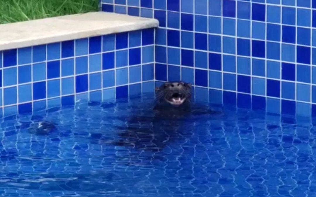 Ariranha é resgatada de piscina em condomínio de luxo